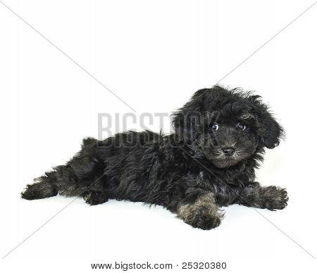 Cute Little Black Malti-poo Puppy