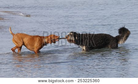 Two Dogs Playing Tug Of War With A Stick At A Lake Huron Beach - Ontario, Canada