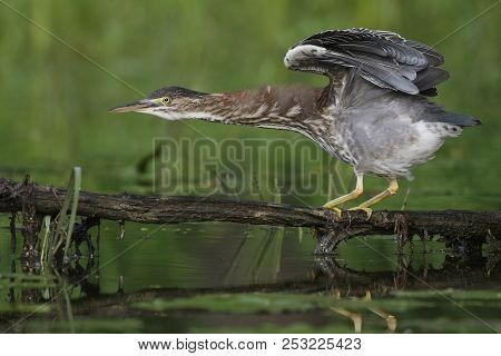 Juvenile Green Heron (butorides Virescens) Balancing On A Branch Overhanging The Water - Ontario, Ca