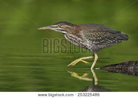 Juvenile Green Heron (butorides Virescens) Stalking Its Prey  In A Shallow River - Ontario, Canada