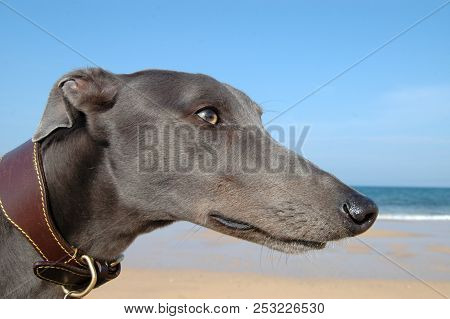 Greyhound Head And Long Face On Beach