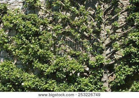 Tree Fanning Out On Sone Wall Garden Pattern