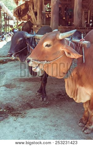 Two Oxen With Yoke Standing In The Farm In Laos
