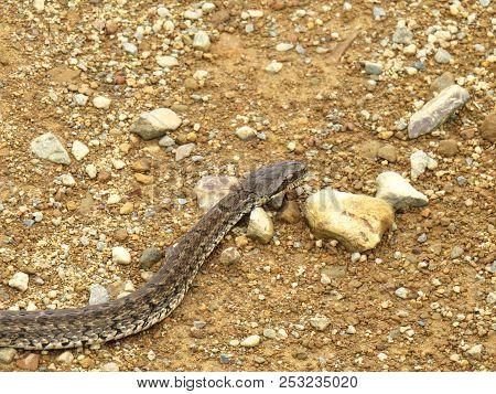 Steppe ratsnake Elaphe dione (Dione snake) closeup
