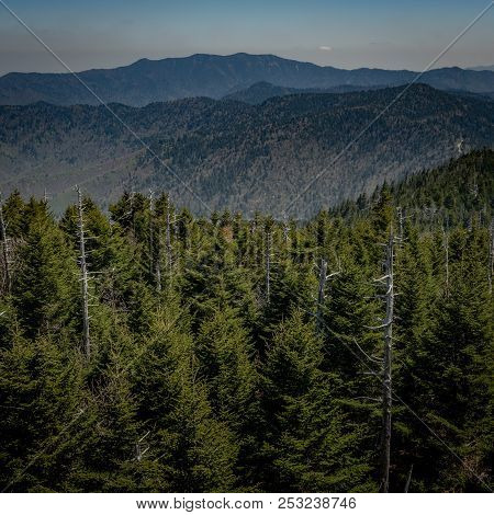 Pine Trees On Clingmans Dome During Early Summer