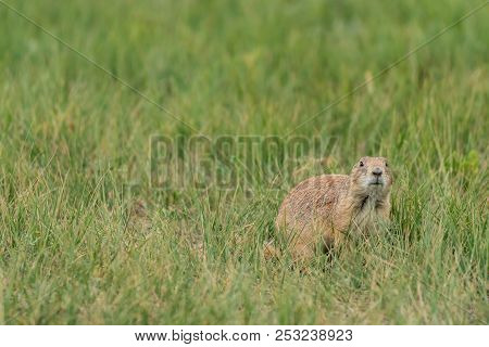 Prairie Dog In Grass Field With Copy Space To Left