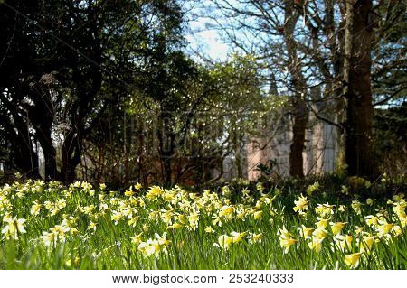 May 1st 2018 - Moray, Scotland: Daffodils Blooming In The Grounds Of Brodie Castle On A Spring Day.