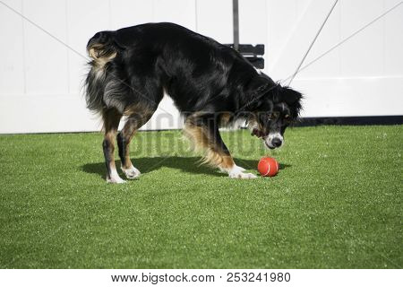 This Is An Image Of My Pup Playing Ball In The Backyard