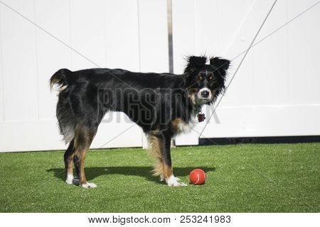This Is An Image Of My Dog Playing With A Red Ball In The Yard