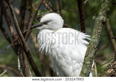 A Juvenile Snowy Egret In A Tree.