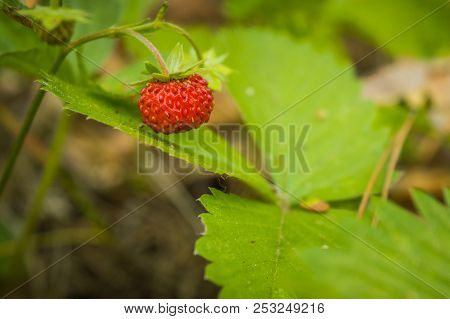 Red Wild Strawberry And Green Leaves In The Forest