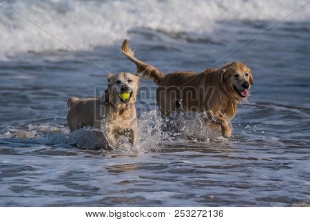Golden Retrievers Emerging From The Ocean With Splashes As One Smiles With Presentation Of The Tenni