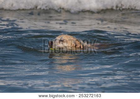 Youthful Golden Retriever Dog Swimming Back To Shore With Fetched Tennis Ball Among The Waves.