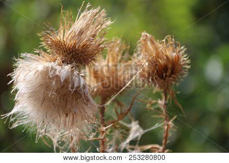 Thistle Plant Blown In Seeds After Growing In Public Park Hitland In Nieuwerkerk Aan Den Ijssel.
