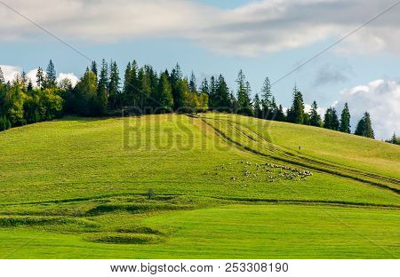 Herd Of Sheep On Grassy Meadow. Spruce Forest On Top Of A Hill. Wonderful Sunny Autumn Weather