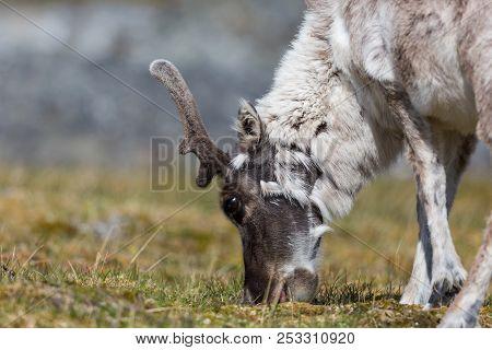 Side View Natural Svalbard Reindeer (rangifer Tarandus Platyrhynchus) Browsing In Summer Tundra