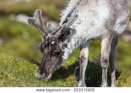 Natural Svalbard Reindeer (rangifer Tarandus Platyrhynchus) Browsing In Sunlight