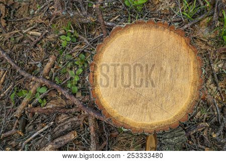 Deforestation Concept. Stump Cross Section Of Pine Tree After Cutting Down