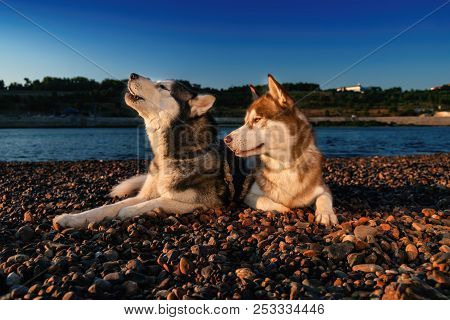 Siberian Husky Howling. Husky Dogs Lie Side By Side On Shore On Sunny Summer Evening. Black And Whit