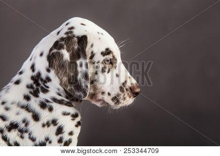 Dalmatian Puppy Dog In Studio With Grey Background From Sideways