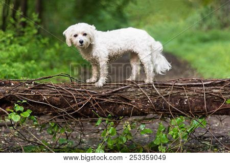Small White Dog On Fallen Tree In Woods