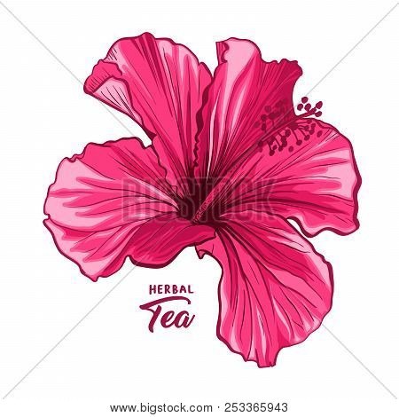Hawaiian Hibiscus Fragrance Flower Or Mallow Pink Chenese Rose. Flora And Isolated Botany Plant With