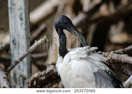 Australian White Ibis Beautiful Isolated Stock Photo