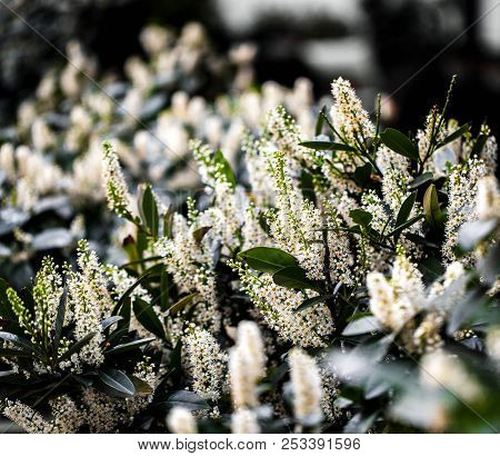 Beautiful Background Of Small White Flowers A