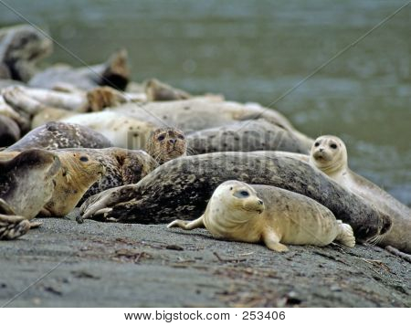 Harbor Seal 5