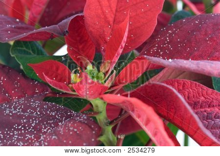 Red Poinsettia.