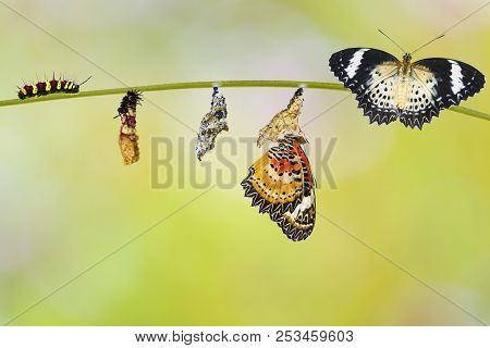 Transformation From Caterpillar To Caterpillar To Chrysalis Of Leopard Lacewing Butterfly ( Cethosia