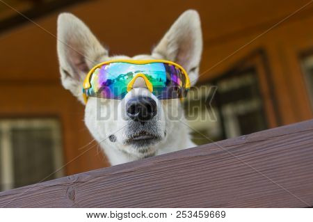 Portrait Of White Cross-breed Dog In Chameleon Sunglasses Guarding Its House Peeping Out From Fence