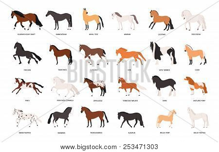 Collection Of Horses Of Various Breeds Isolated On White Background. Bundle Of Gorgeous Domestic Equ