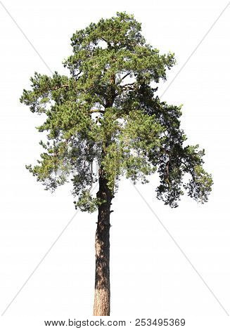 Scotch Fir, Pine Conifer Tree, Isolated On White Background