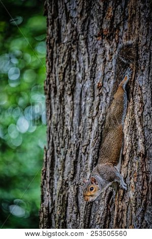 A Squirrel Hanging Upside Down On The Side A Tree In A Washington, Dc Park.