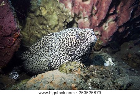 Laced Moray Eel (gymnothorax Favagineus) Underwater Among Coral Reef In Bali