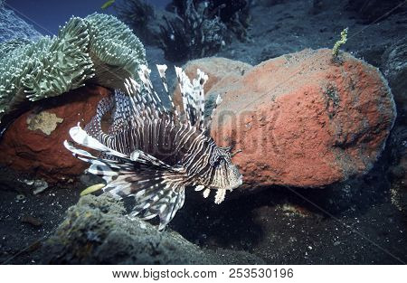 Lionfish (Pterois) swimming over coral reef underwater in Tulamben, Bali