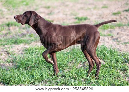 A Young Muscular Brown Hunting Dog Is Standing In A Point In The Field Among The Green Grass. A Spri