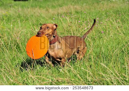 Bila Tserkva, Ukraine - August 7, 2018. Dog Breed Standard Smooth-haired Dachshund, Bright Red Color
