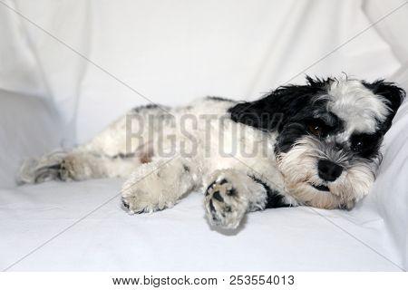 Havanese Dog. A beautiful Havanese Dog. Black and White fur.