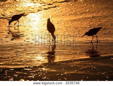 Three birds looking for food at sunset poster