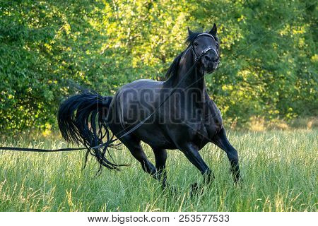 Black Friesian Horse Runs Gallop In Grass. Friesian Horse Running On Halter.  Rare Breed Of Horses