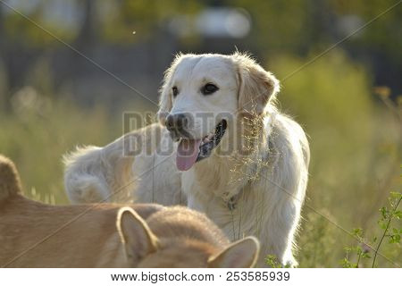 Dogs Play With Each Other. Labrador Retriever. Merry Fuss Puppies. Aggressive Dog. Training Of Dogs.