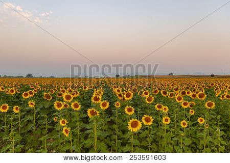 Sunflower Field With The Mountains And The Colorado Front Range In The Background