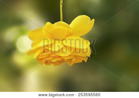 Beautiful Golden/ Yellow  Rose With Blurred Background