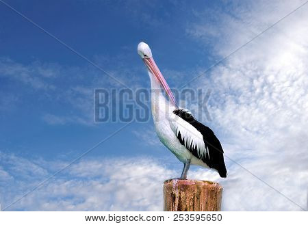 Australian Pelican (pelecanus Conspicillatus) Perth Western Australia