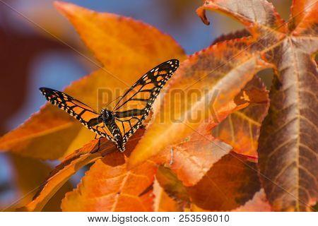 Beautiful Orange Monarch Butterfly On An Orange Colored Leaf