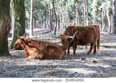 Between The Trees There Is A Beautiful Scottish Highlander