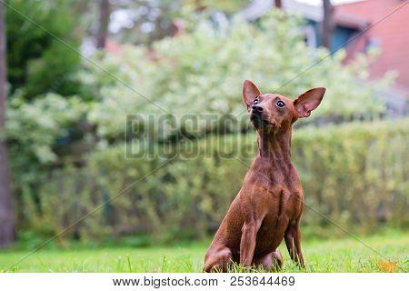 Outdoor Portrait Of A Red Miniature Pinscher Dog Sitting On Grass