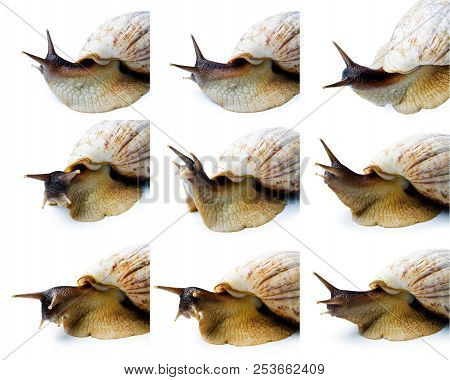 Set Of A Giant African Snail. Giant African Snail Isolated On White Background. Achatina Fulica.